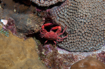 A bright red crab is perched between several different coral colonies at night.