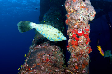 A scrawled filefish swims next to underwater platform legs covered with sponges.