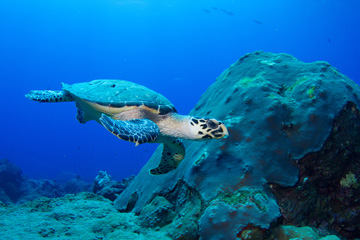 A hawksbill sea turtle swims by a large coral head.