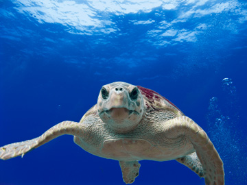 Loggerhead sea turtle floating in bright blue water and looking straight at the camera.