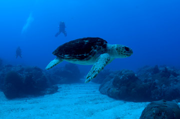 A loggerhead sea turtle swims above a sand flat while two divers hover in the background.