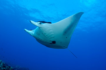 Belly view of a manta ray swimming toward the left.  Two dark spots are noticeable below the gill slits.