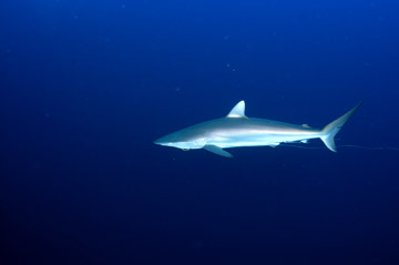 A silky shark with a hook and leader trailing from its mouth.