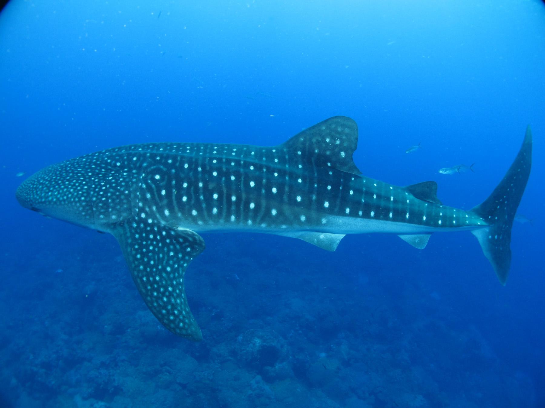 Flower Garden Banks National Marine Sanctuary Whale Shark ... Oyster Eating Salt