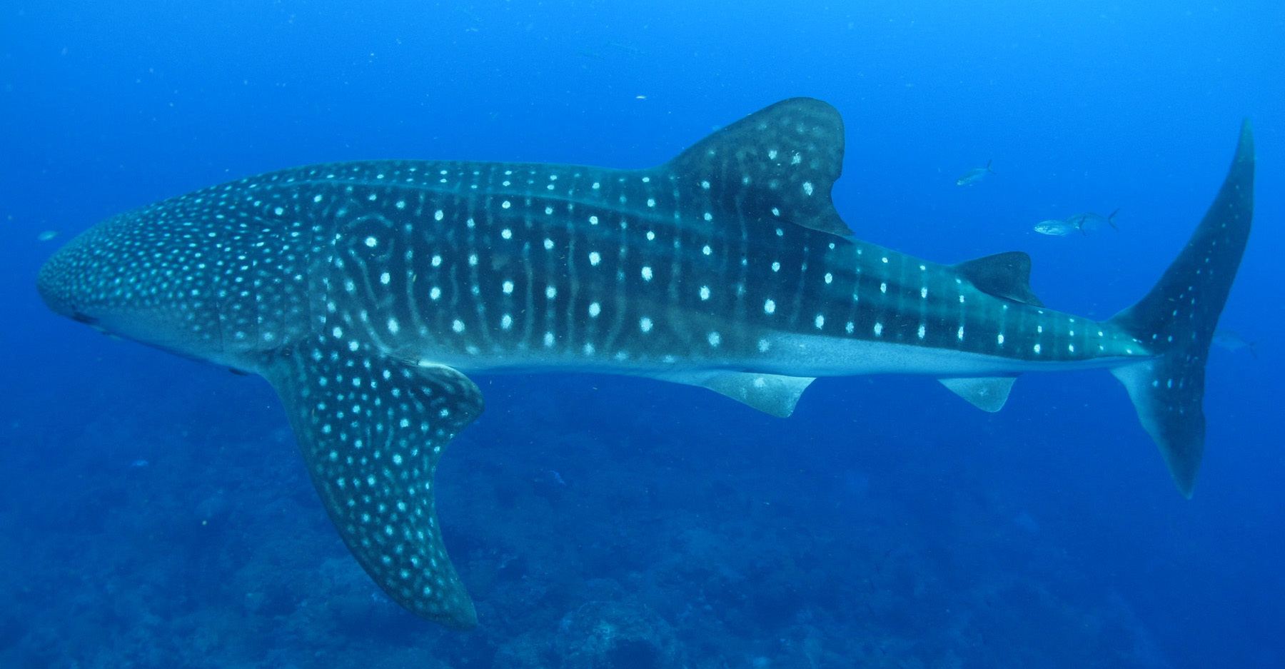 Side view of a whale shark swimming above a deep reef