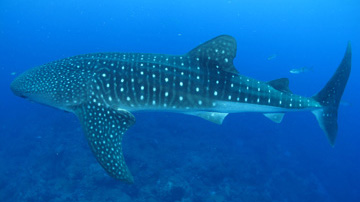 Whale shark swimming in open water above a reef