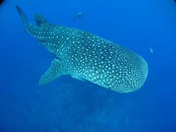 Whale shark swimming directly toward the camera with snorkelervisible in the background