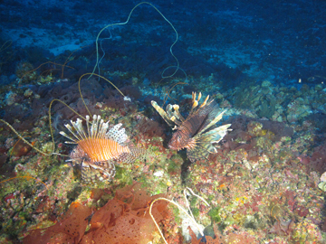Two lionfish in the coralline algae zone