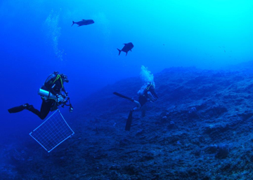 Two scuba divers swimming over a seafloor area covered in algae. One dive has a large quadrat hanging from his gear. Two jacks are swimming with the divers.