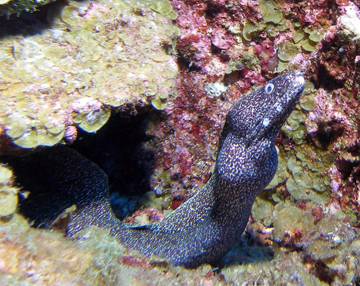 Spotted moray eel swimming out from a crevice in the reef.