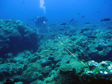 Diver works along a meter tape on laid across the reef.