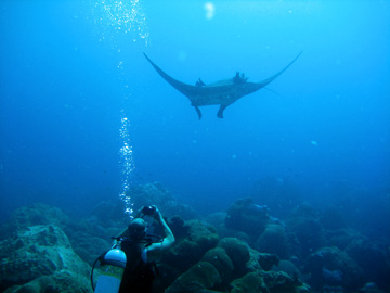 A diver takes a photograph of a manta ray swimming overhead.