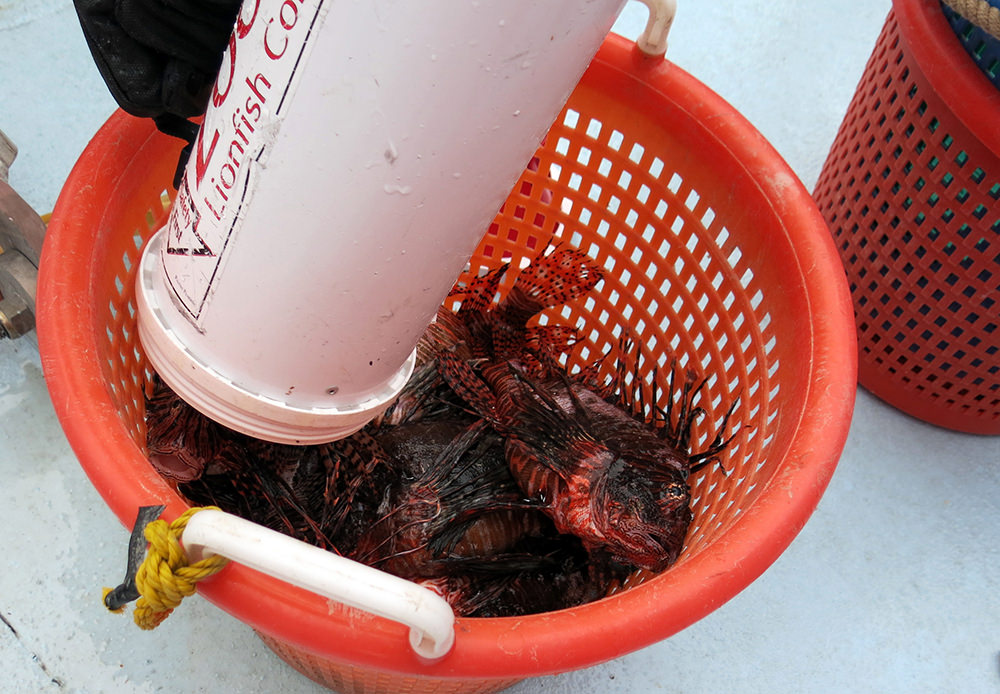 Lionfish being emptied from a ZooKeeper into a large orange basket