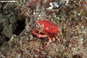 A small red decorator crab, without any extra decoration, sitting in a bed of algae
