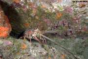 A spiny lobster crawling out of a crevice.  This species has antenna at the front that are as long or longer than the rest of its body
