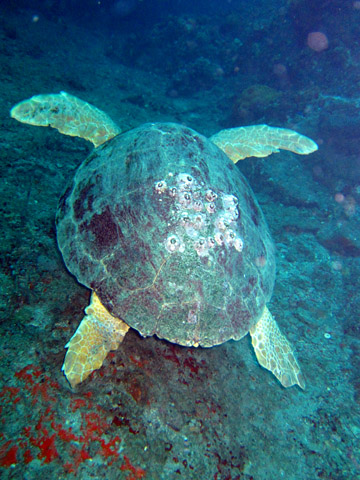 View of a large sea turtle from behind.  All four flippers are visible, but the head is not.