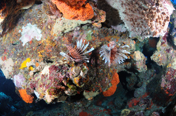 Three lionfish on one section of reef at West Flower Garden Bank