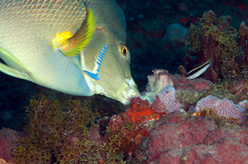 Blue Angelfish (Holacanthus bermudensis) eating sponges on the reef
