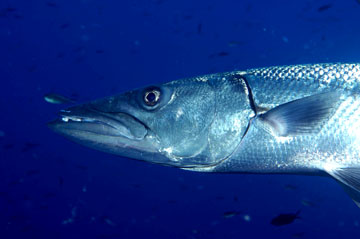 Head view of a barracuda