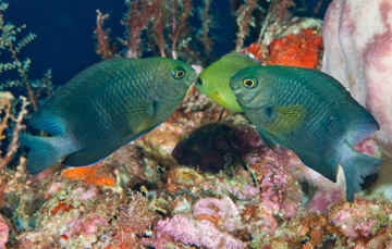Bicolor Damselfish (Stegastes partitus)