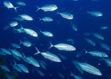 School of blue runner caranx crysos for Blue runner fish