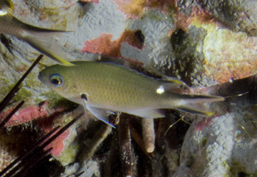 Brown Chromis (Chromis multilineata)