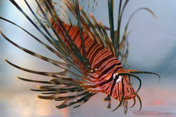Small lionfish in an aquarium