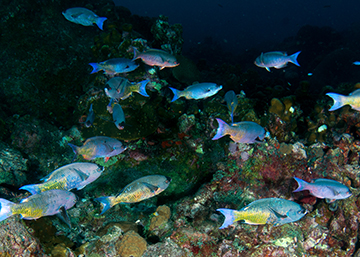 School of Creole Wrasse (Clepticus parrae)