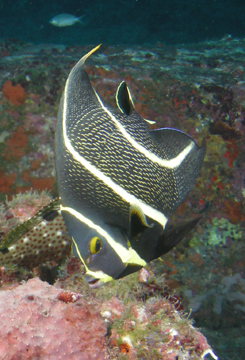 French angelfish transitioning from juvenile to adult (Pomacanthus paru)