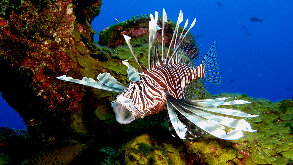 Lionfish with mouth wide open and fins flared