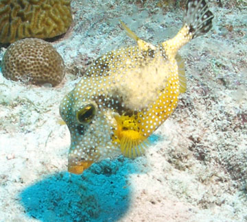 golden smooth trunkfish
