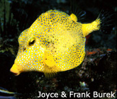 Golden smooth trunkfish (Lactophrys triqueter)