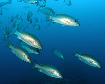 A school of gray snapper swimming in open water.