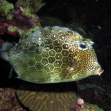 Honeycomb cowfish (Acanthostracion polygonia)