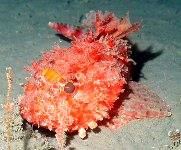 Hunchback scorpionfish sitting on the silty sea floor.