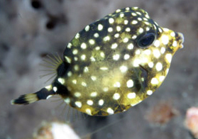 Juvenile Smooth Trunkfish (Lactophrys triqueter)