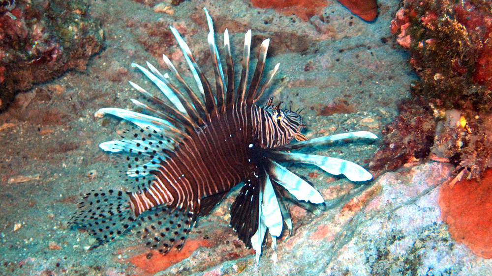 Lionfish on a rocky reef at Sonnier Bank