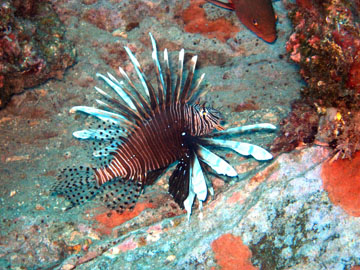 Lionfish at Sonnier Bank in the northwestern Gulf of Mexico