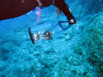 Diver transporting a lionfish in a clear capture net underwater.