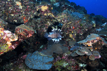 Lionfish on the reef at Flower Garden Banks.
