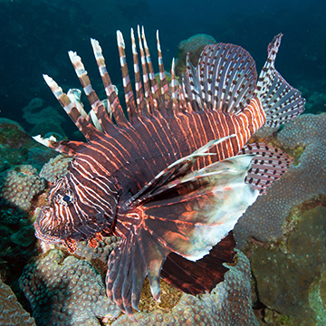 Close up view of a lionfish with star corals in the background