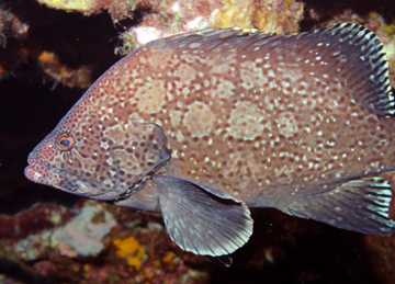 Marbled Grouper