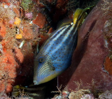 Orangespotted filefish (Cantherhines pullus)