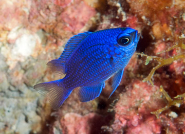 Purple Reeffish (Chromis scotti)