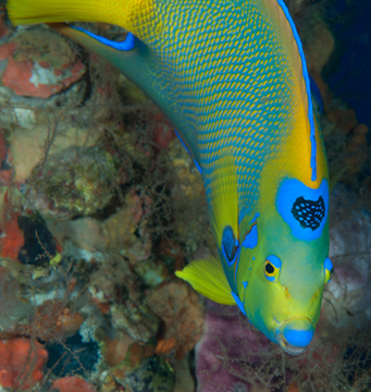 Face front head shot of a Queen Angelfish (Holocanthus ciliaris)