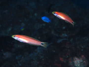 red phase of mardi gras wrasse