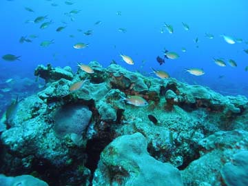 Brown chromis, small light brown fish, swim above a reef.