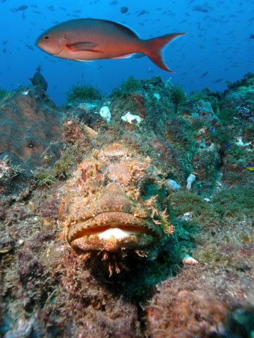 Large yellowmouth grouper swimming above a coral reef.