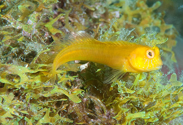Yellow variation of Seaweed Blenny