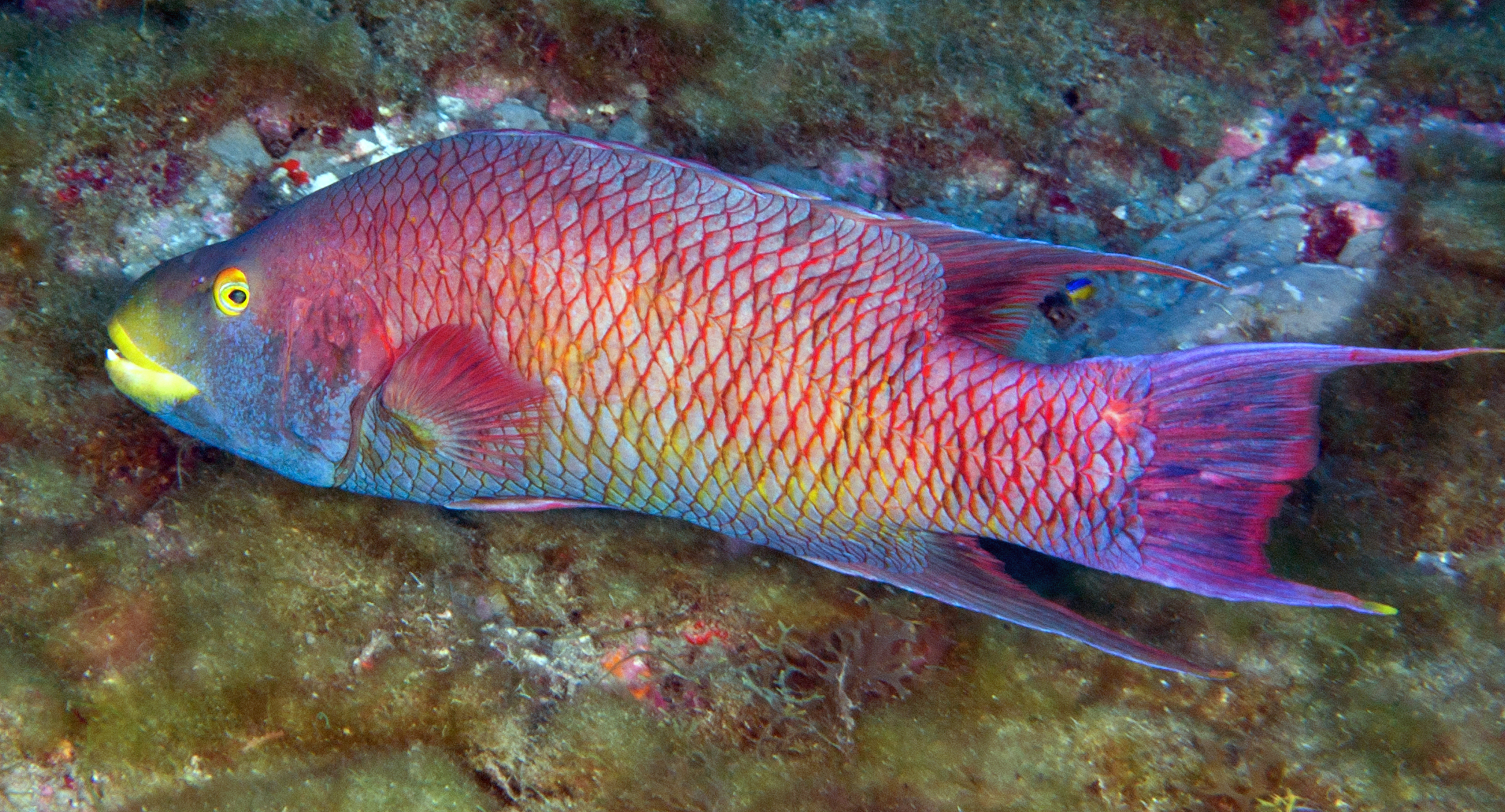 Fishes of flower garden banks national marine sanctuary for Fish in spanish